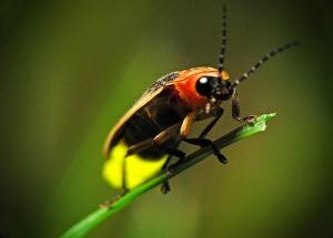 firefly-pics2